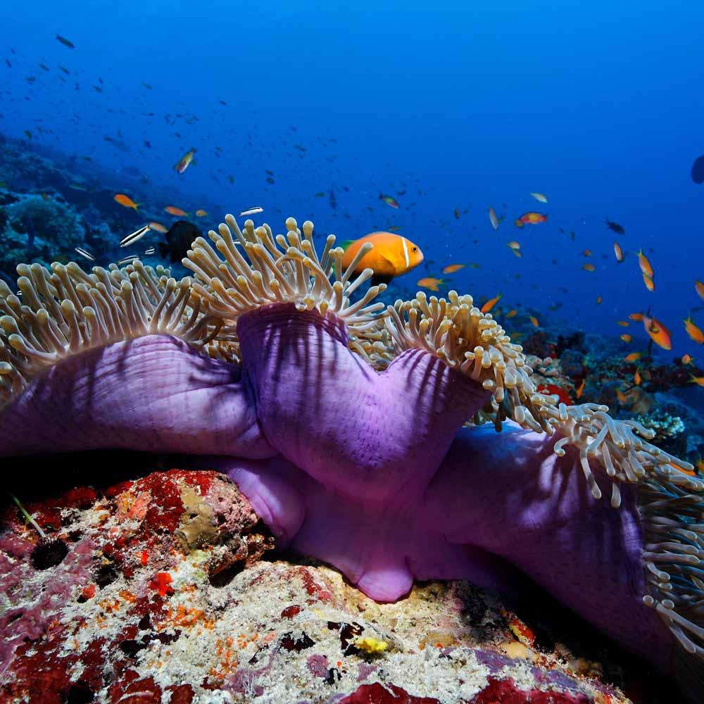 Slow Dive Indischer Ozean Anemone