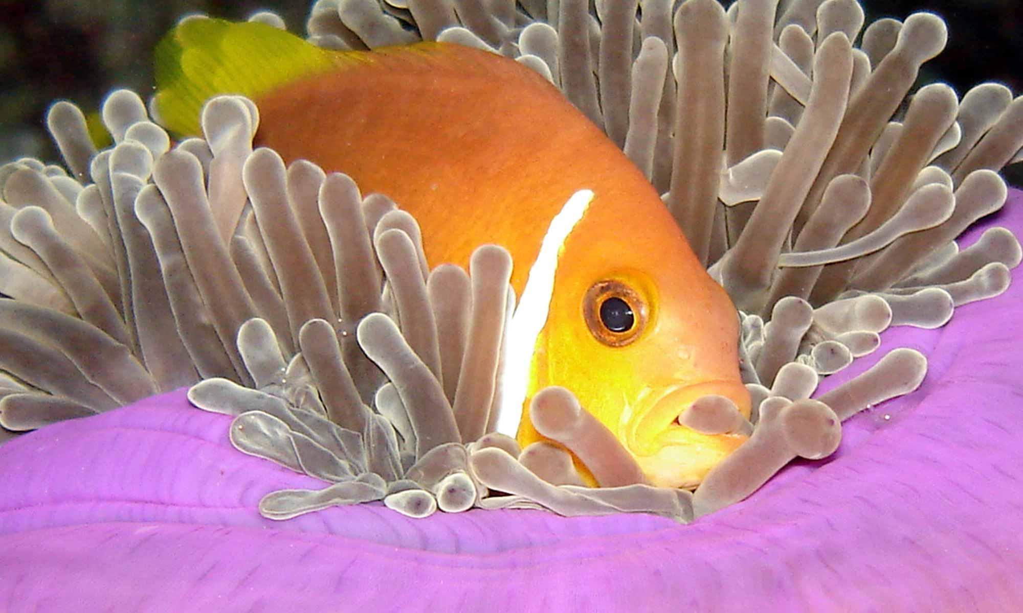Slow Dive Indischer Ozean Malediven Euro Divers Kurumba Anemone