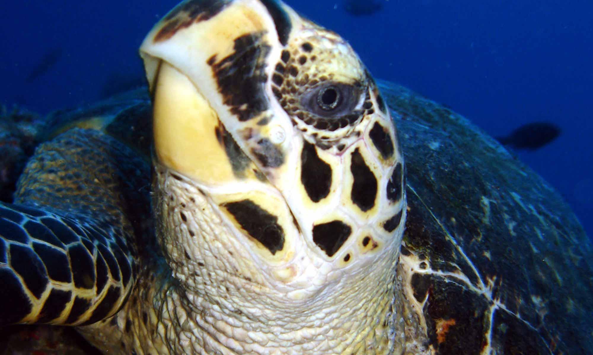 Slow Dive Indischer Ozean Malediven Euro Divers Kurumba Schildkröte