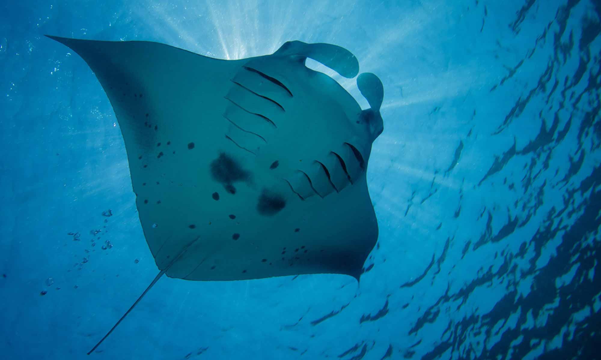 Slow Dive Indischer Ozean Malediven Pro Divers Kuredu Manta
