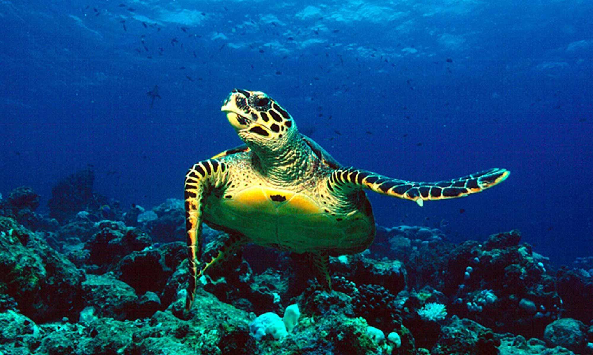 Slow Dive Indischer Ozean Malediven Pro Divers Kuredu Schildkröte
