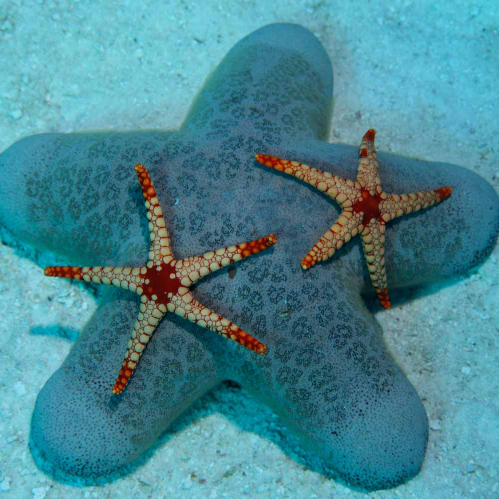 Slow Dive Indischer Ozean Malediven Seestern