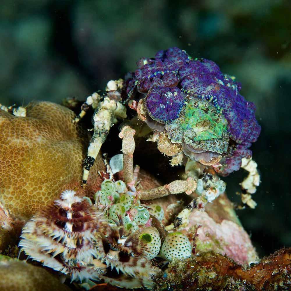 Slow Dive Indopazifik Indonesien Krebs