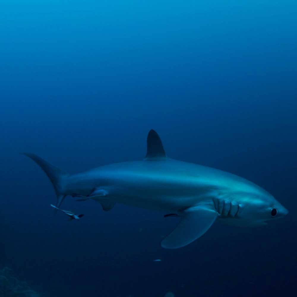 Slow Dive Indopazifik Philippinen Hai