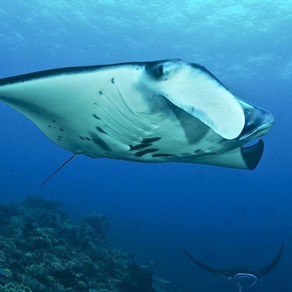 Slow Dive Indopazifik Philippinen Manta