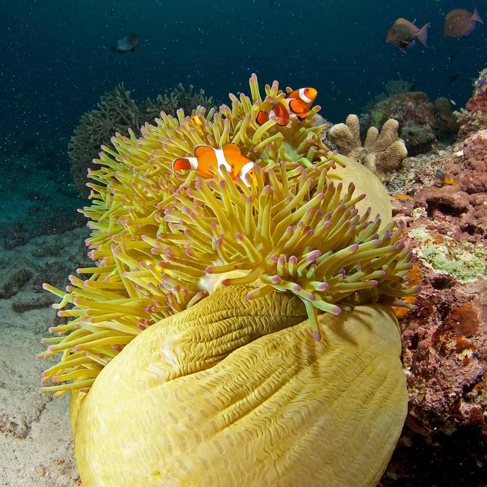 Slow Dive Indopazifik Philippinen Nemo