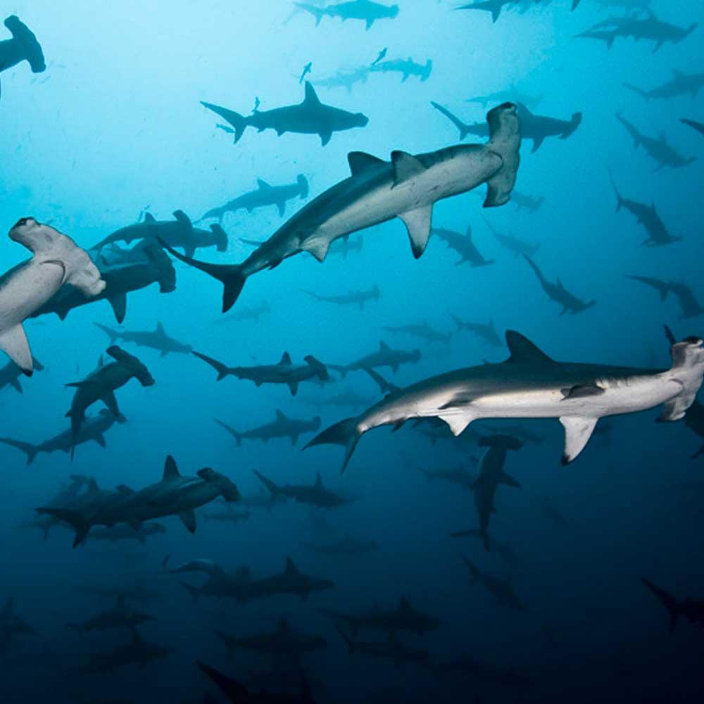 Slow Dive Pazifik Cocos Island Hammerhaischule