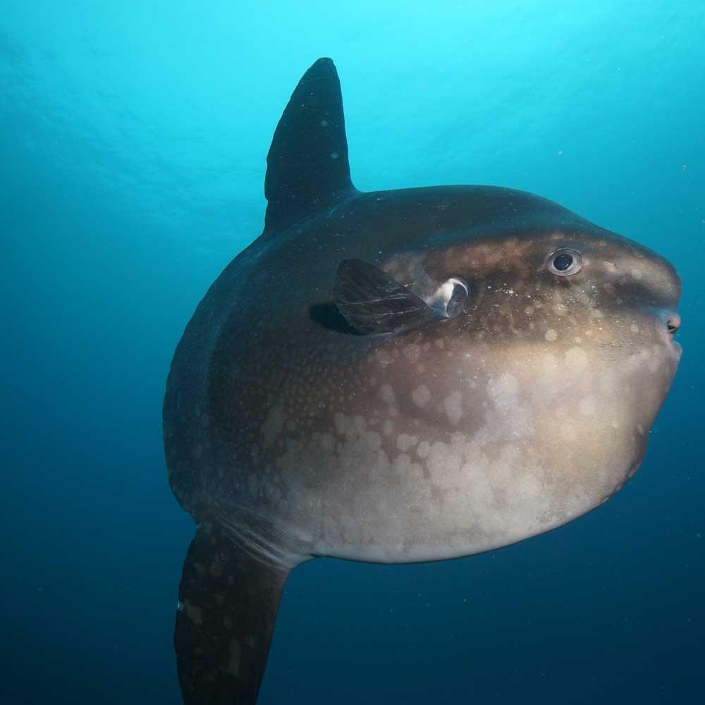 Slow Dive Pazifik Galapagos Mondfisch