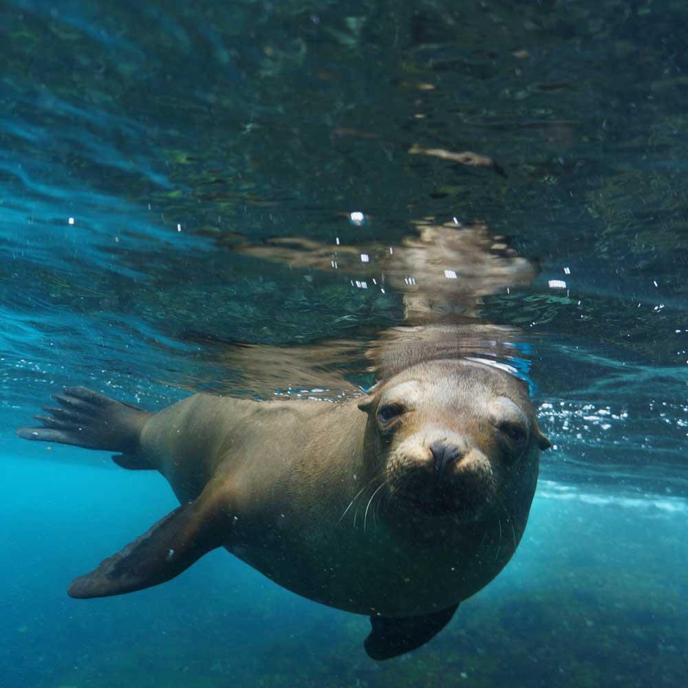 Slow Dive Pazifik Galapagos Seelöwe