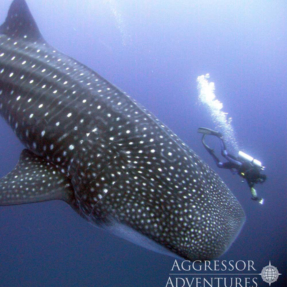Slow Dive Pazifik Galapagos Walhai
