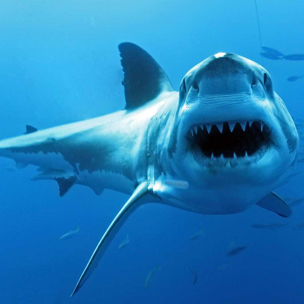 Slow Dive Pazifik Mexiko Hai