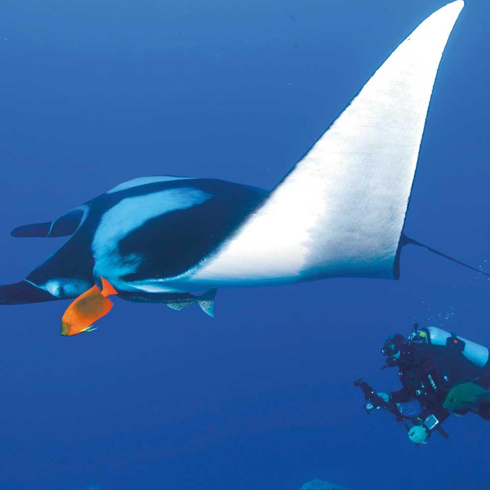 Slow Dive Pazifik Mexiko Manta