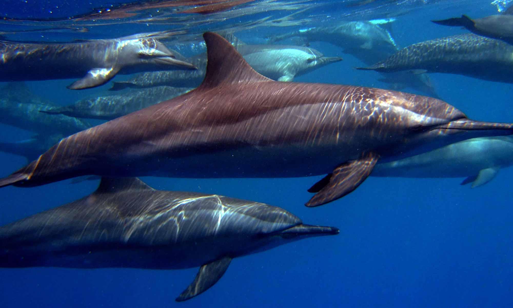 Slow Dive Rotes Meer Ägypten Emperor Divers Marsa Alam Delfine
