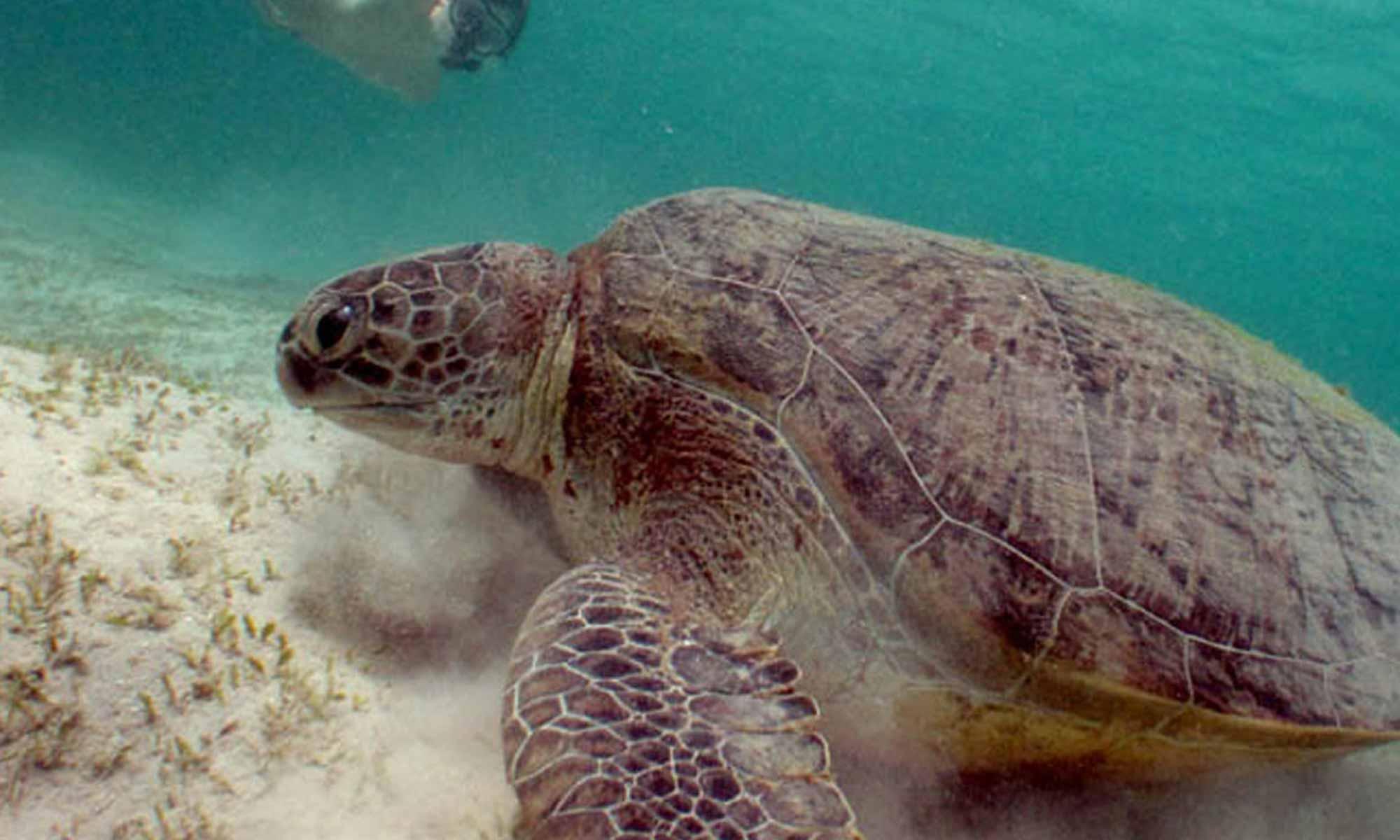 Slow Dive Rotes Meer Ägypten Emperor Divers Marsa Alam Schildkröte