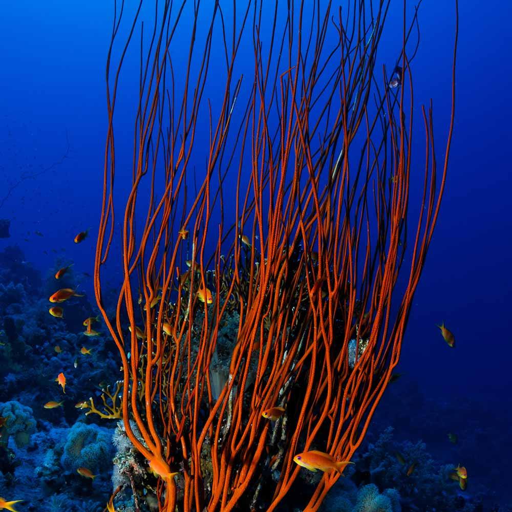Slow Dive Rotes Meer Ägypten rote Korallen