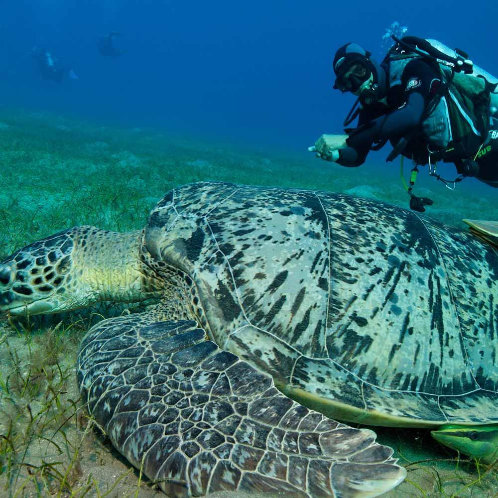 Slow Dive Rotes Meer Ägypten Schildkröte