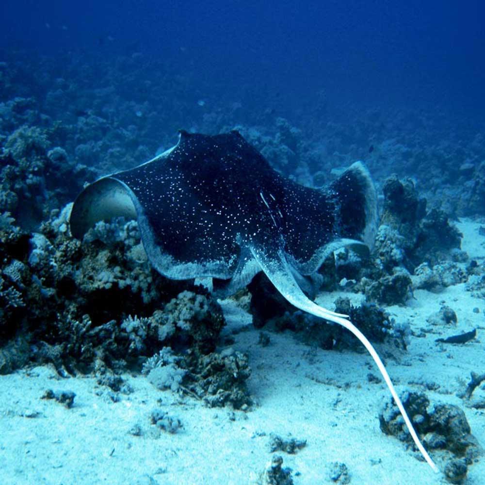Slow Dive Rotes Meer Ägypten Stachelrochen