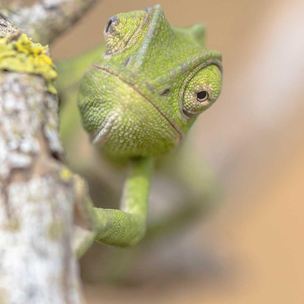 Slow Dive Rotes Meer Sudan Chameleon