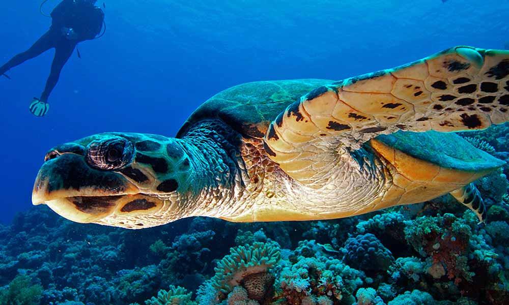 Slow Dive Tauchen lernen Camel Dive Schildkröte