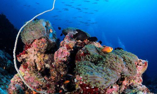 slow-dive-indischer-ozean-malediven-euro-divers-meeru-anemone