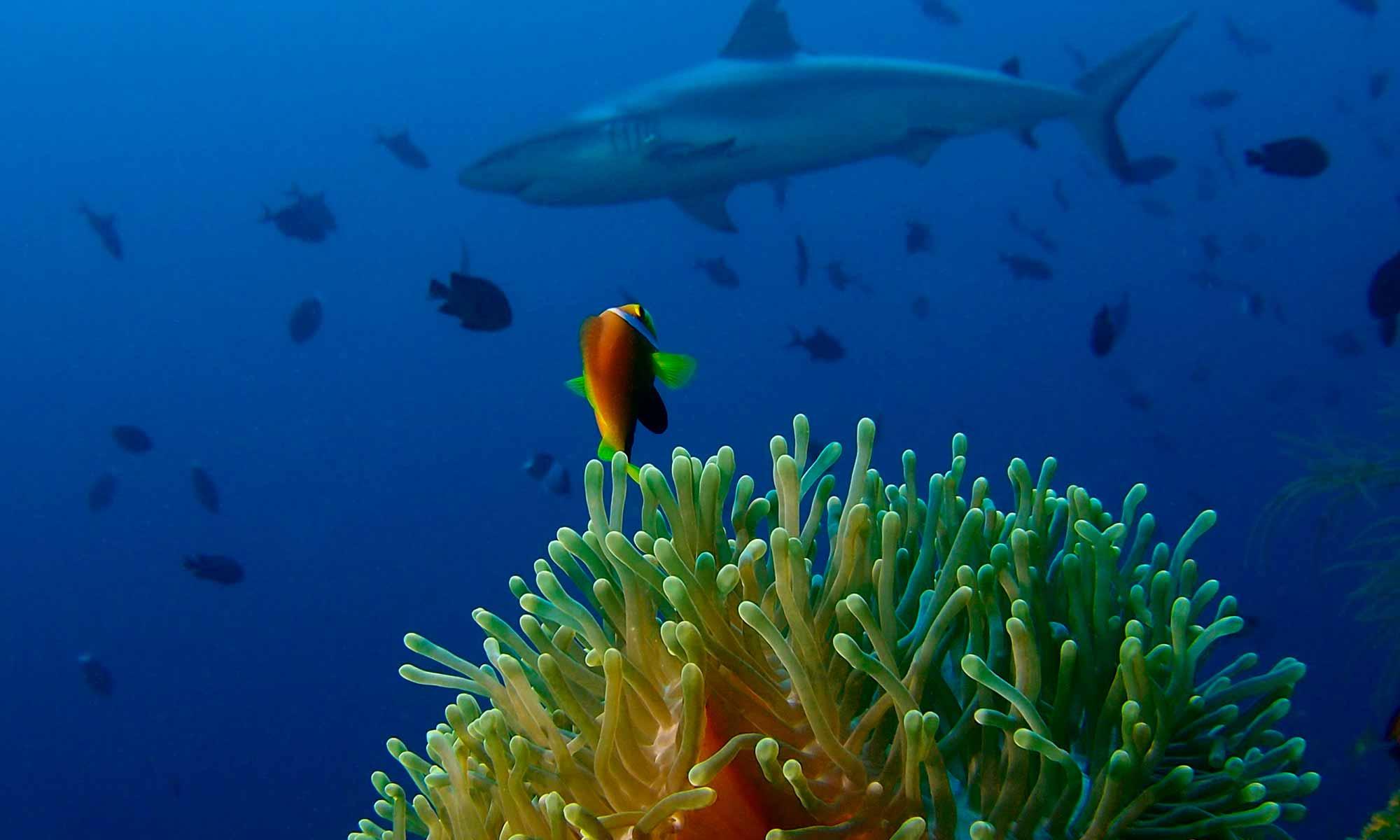 slow-dive-indischer-ozean-malediven-euro-divers-meeru-anemone-hai