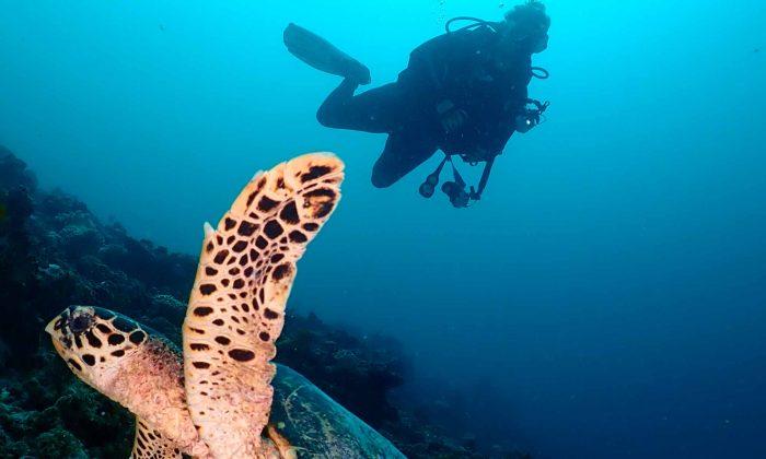 slow-dive-indischer-ozean-malediven-euro-divers-meeru-schildkroete