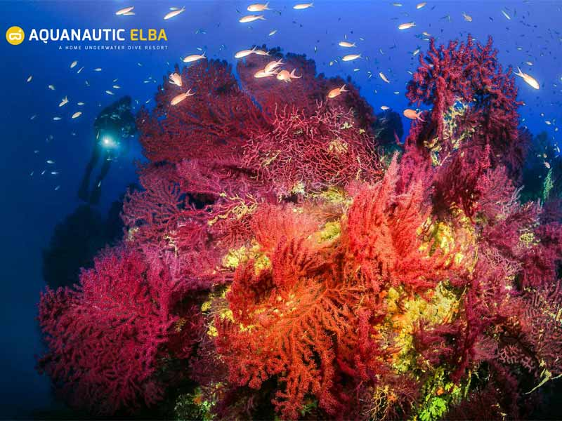 Slow Dive Angebote Italien Elba Unterwasser Gorgonien